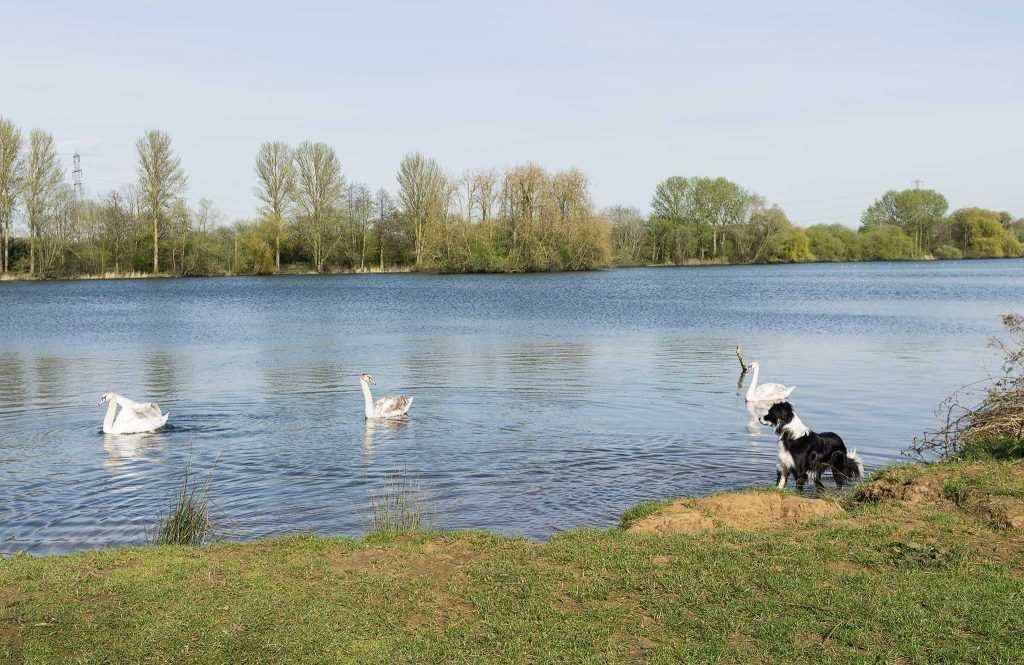 Delapre Abbey Lake - Archie with swans